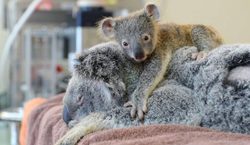 baby-koala-mom-surgery-australia-zoo-11-821x479