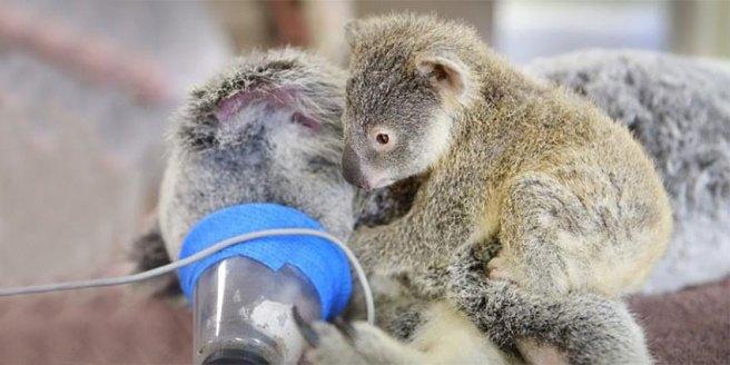 baby-koala-mom-surgery-australia-zoo-21-850x425