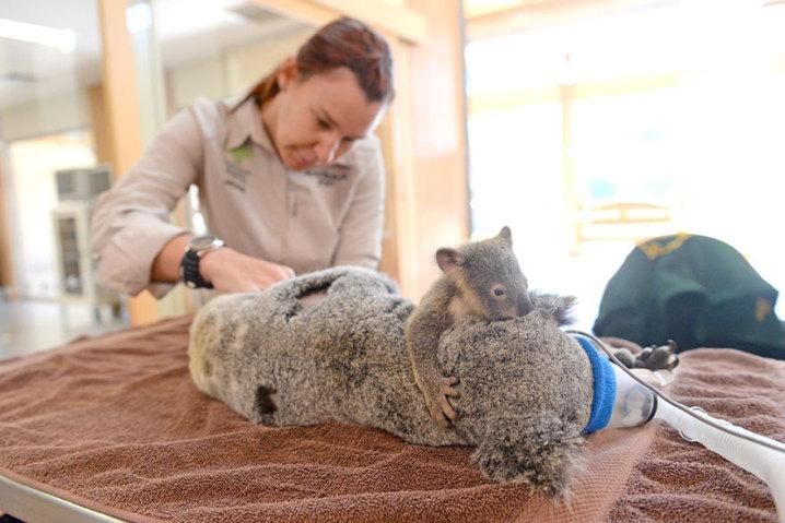 baby-koala-mom-surgery-australia-zoo-8-718x479